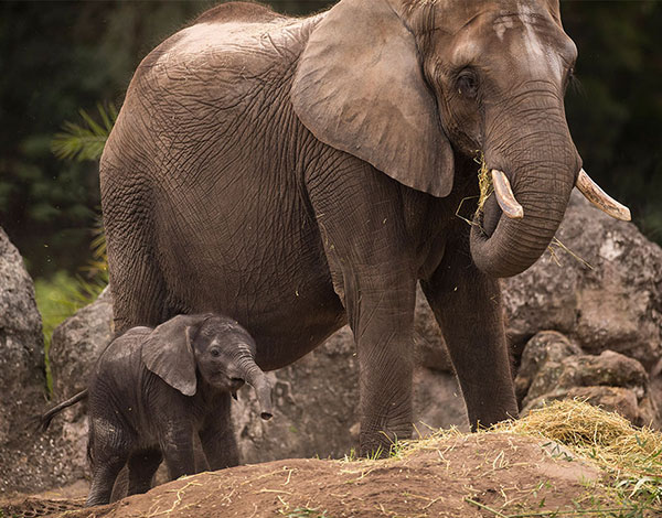 <div class='meta'><div class='origin-logo' data-origin='none'></div><span class='caption-text' data-credit='David Roark/Disney'>Stella the baby elephant is now exploring the savanna at Kilimanjaro Safaris in Disney World's Animal Kingdom.</span></div>