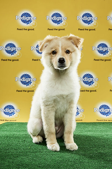 "<div class=""meta image-caption""><div class=""origin-logo origin-image none""><span>none</span></div><span class=""caption-text"">Blitz, for Team Fluff, is a 15-week-old golden retriever. He's from Florida. (Animal Planet)</span></div>"
