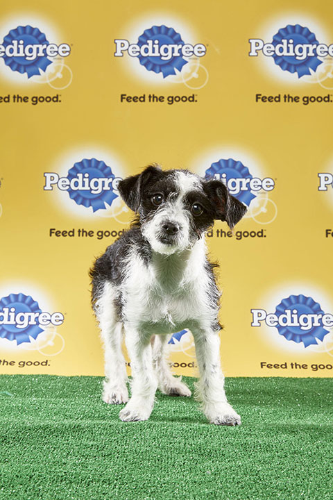 "<div class=""meta image-caption""><div class=""origin-logo origin-image none""><span>none</span></div><span class=""caption-text"">Bo, for Team Ruff, is a 15-week-old Parson Russell terrier mix. She's from California. (Animal Planet)</span></div>"