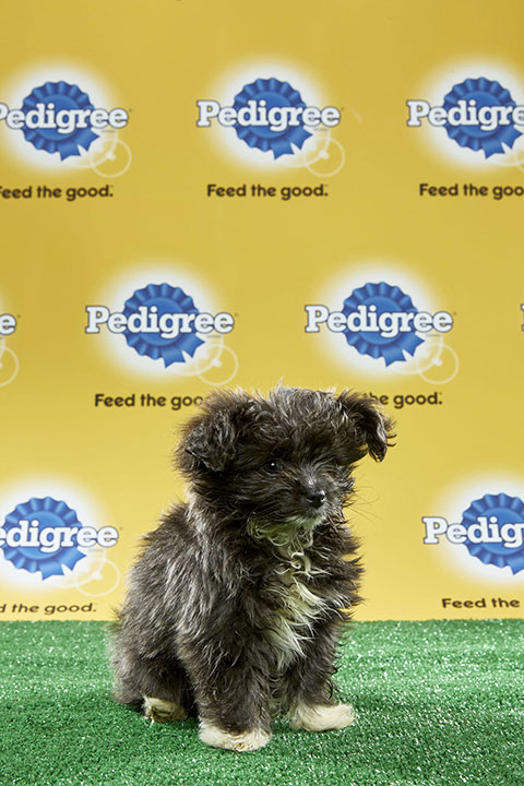 "<div class=""meta image-caption""><div class=""origin-logo origin-image none""><span>none</span></div><span class=""caption-text"">Buttons, for Team Fluff, is a 12-week-old Pomeranian/schnauzer mix. She's from Florida. (Animal Planet)</span></div>"