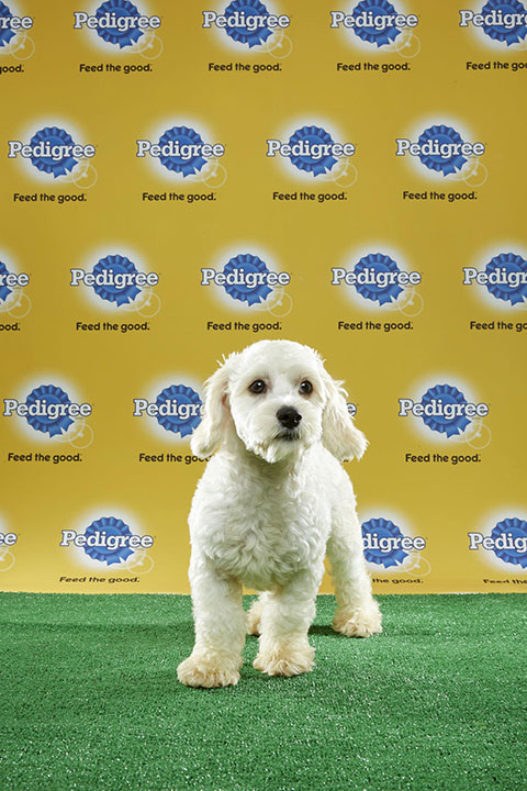 "<div class=""meta image-caption""><div class=""origin-logo origin-image none""><span>none</span></div><span class=""caption-text"">Nikkita, for Team Fluff, is an 18-week-old cocker spaniel/bichon frise mix. She's from Florida. (Animal Planet)</span></div>"