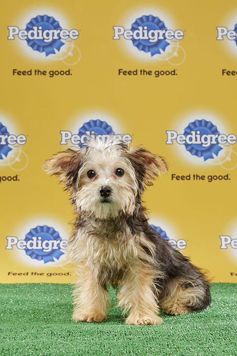 "<div class=""meta image-caption""><div class=""origin-logo origin-image none""><span>none</span></div><span class=""caption-text"">Parfait, for Team Fluff, is a 17-week-old Yorkie/Poodle mix. She's from Florida. (Animal Planet)</span></div>"