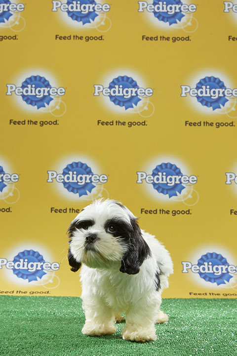 "<div class=""meta image-caption""><div class=""origin-logo origin-image none""><span>none</span></div><span class=""caption-text"">Puddles, for Team Ruff, is a 13-week-old cocker/Shih Tzu mix. She's from Florida. (Animal Planet)</span></div>"
