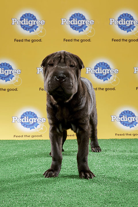 "<div class=""meta image-caption""><div class=""origin-logo origin-image none""><span>none</span></div><span class=""caption-text"">Smooshie, for Team Ruff, is a 12-week-old Shar Pei. She's from Florida. (Animal Planet)</span></div>"