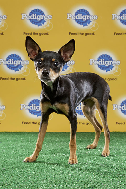 "<div class=""meta image-caption""><div class=""origin-logo origin-image none""><span>none</span></div><span class=""caption-text"">Striker, for Team Ruff, is an 18-week-old miniature pinscher/Shih Tzu mix. He's from Virginia. (Animal Planet)</span></div>"