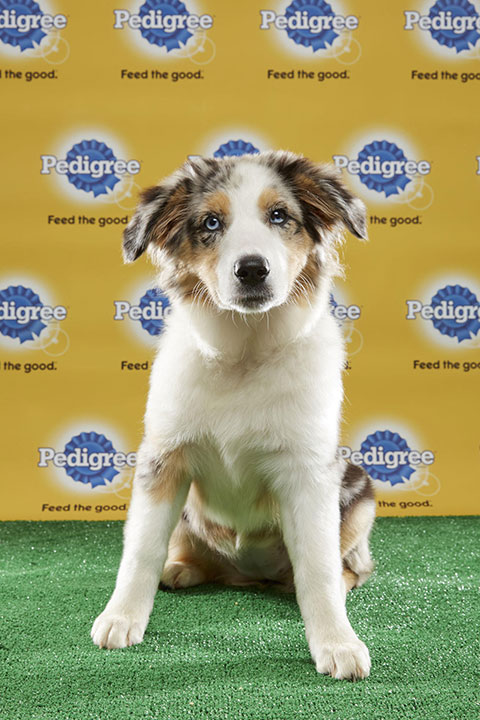 "<div class=""meta image-caption""><div class=""origin-logo origin-image none""><span>none</span></div><span class=""caption-text"">Tucker, for Team Fluff, is a 16-week-old Australian shepherd mix. She's from Tennessee. (Animal Planet)</span></div>"