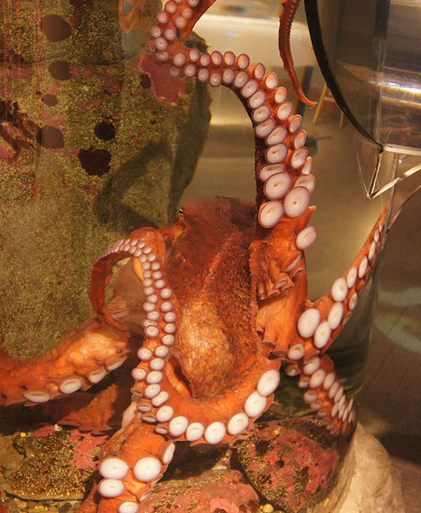 curious octopus makes a break for it thwarted by ever