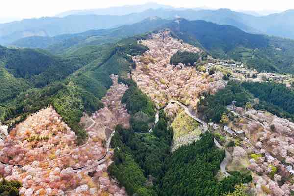 <div class='meta'><div class='origin-logo' data-origin='Creative Content'></div><span class='caption-text' data-credit='The Asahi Shimbun via Getty'>In this aerial image, approximately 30,000 cherry blossoms are in bloom at Mt. Yoshino on April 16, 2017 in Yoshino, Nara, Japan.</span></div>