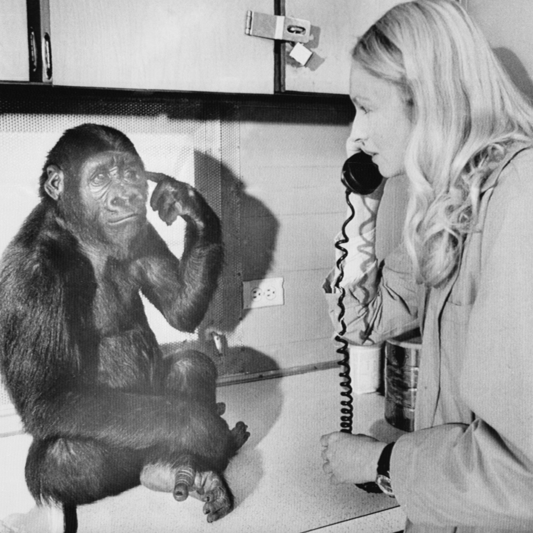 <div class='meta'><div class='origin-logo' data-origin='none'></div><span class='caption-text' data-credit='Bettmann/Getty Images'>Koko, known as the gorilla who mastered sign language, died in her sleep at age 46, the Gorilla Foundation said in a statement on June 21.</span></div>