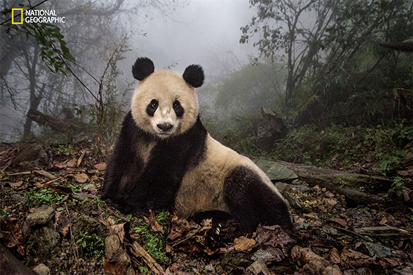 "<div class=""meta image-caption""><div class=""origin-logo origin-image wabc""><span>wabc</span></div><span class=""caption-text"">Ye Ye, a 16-year-old giant panda, lounges in a wild enclosure at a conservation center in Wolong Nature Reserve.  (© Ami Vitale / National Geographic)</span></div>"