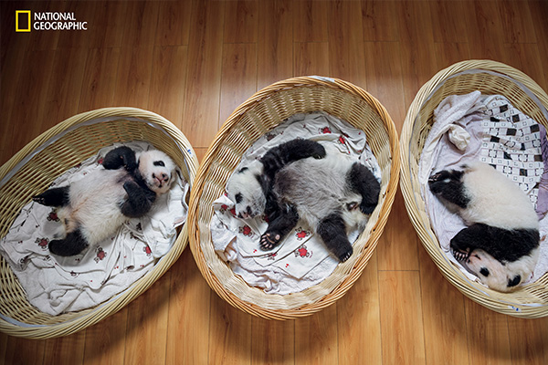 "<div class=""meta image-caption""><div class=""origin-logo origin-image wpvi""><span>wpvi</span></div><span class=""caption-text"">Three-month-old cubs nap in the panda nursery at Bifengxia. A panda mother that bears twins usually fails to give them equal attention.  (© Ami Vitale / National Geographic)</span></div>"