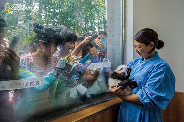 "<div class=""meta image-caption""><div class=""origin-logo origin-image wabc""><span>wabc</span></div><span class=""caption-text"">Caretaker Li Feng cradles her precious charge by the window of Bifengxia's panda nursery, the most popular stop for visitors touring the facilities.  (© Ami Vitale / National Geographic)</span></div>"