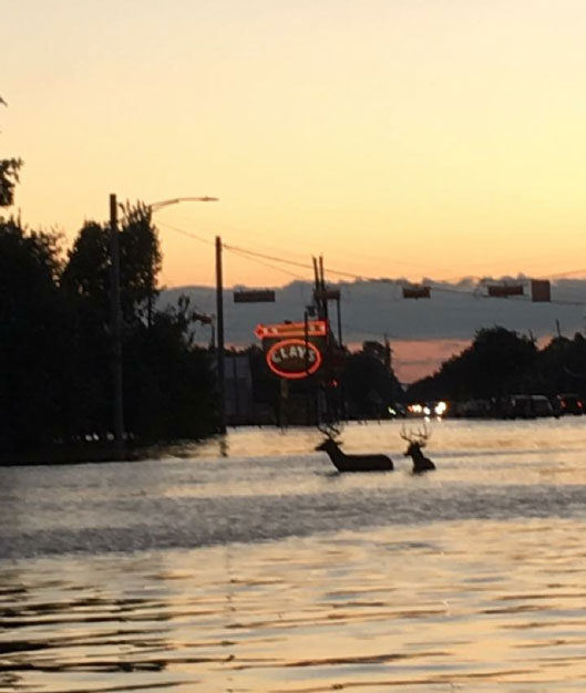 <div class='meta'><div class='origin-logo' data-origin='none'></div><span class='caption-text' data-credit='K.C.'>Deer navigate the flood waters near Clay Road and Queenston Blvd in Houston.</span></div>