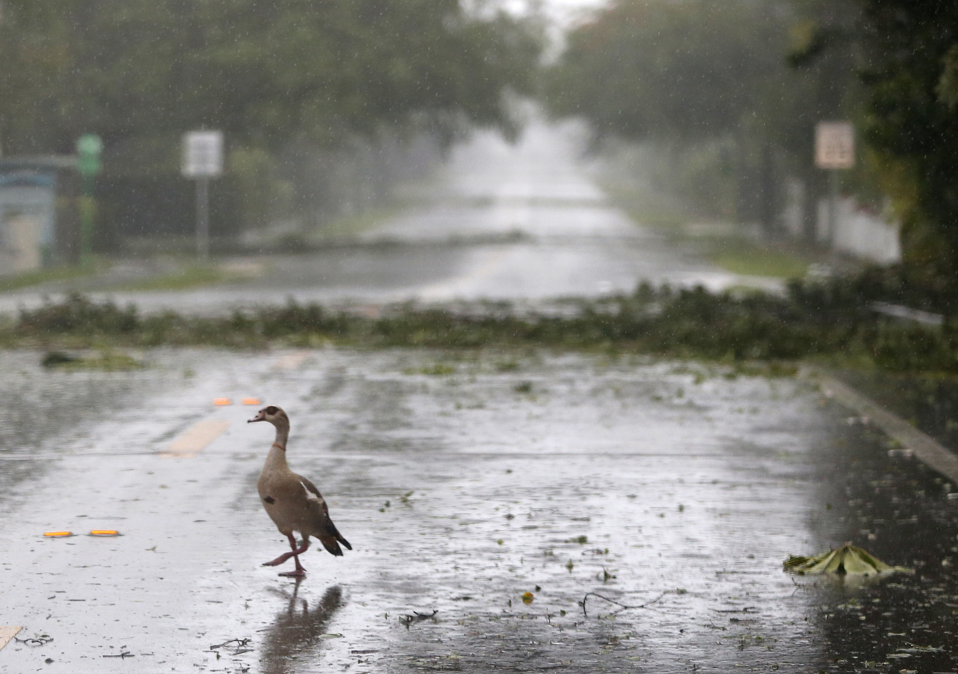 "<div class=""meta image-caption""><div class=""origin-logo origin-image none""><span>none</span></div><span class=""caption-text"">An Egyptian Goose stands in the middle of a debris-strewn road as Hurricane Irma passes by, Sunday, Sept. 10, 2017, in Coral Gables, Fla. (Wilfredo Lee/AP Photo)</span></div>"