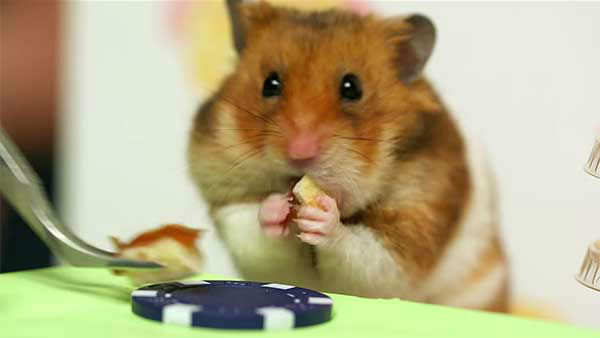 "<div class=""meta image-caption""><div class=""origin-logo origin-image ""><span></span></div><span class=""caption-text"">But Tiny Hamster--who has an intense game face--gives the human a run for his money. (Photo/YouTube, HelloDenizen)</span></div>"