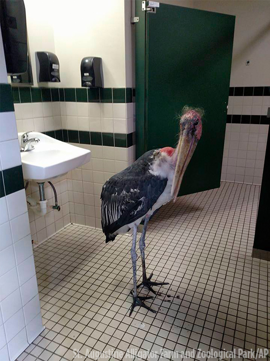 <div class='meta'><div class='origin-logo' data-origin='none'></div><span class='caption-text' data-credit='Gen Anderson/St. Augustine Alligator Farm and Zoological Park/AP'>A marabou stork in a restroom at the facility in St. Augustine, Fla. The St. Augustine Alligator Farm and Zoological Park said it moved all of its birds and mammals inside.</span></div>