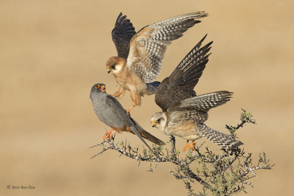 "<div class=""meta image-caption""><div class=""origin-logo origin-image none""><span>none</span></div><span class=""caption-text"">Amir Ben-Dov of Israel won the Birds category with this photo, ''Company of Three,'' featuring red-footed falcons. (Amir Ben-Dov)</span></div>"