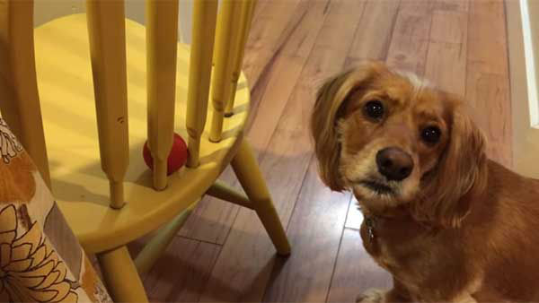 """<div class=""""meta image-caption""""><div class=""""origin-logo origin-image """"><span></span></div><span class=""""caption-text"""">This poor dog tries everything except the obvious way. (Photo/YouTube, Grizzly Black)</span></div>"""