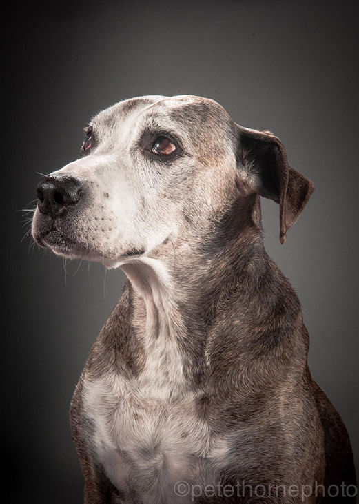 "<div class=""meta image-caption""><div class=""origin-logo origin-image ""><span></span></div><span class=""caption-text"">Bodley is a 12-year-old boxer-Staffordshire terrier mix. (Pete Thorne)</span></div>"
