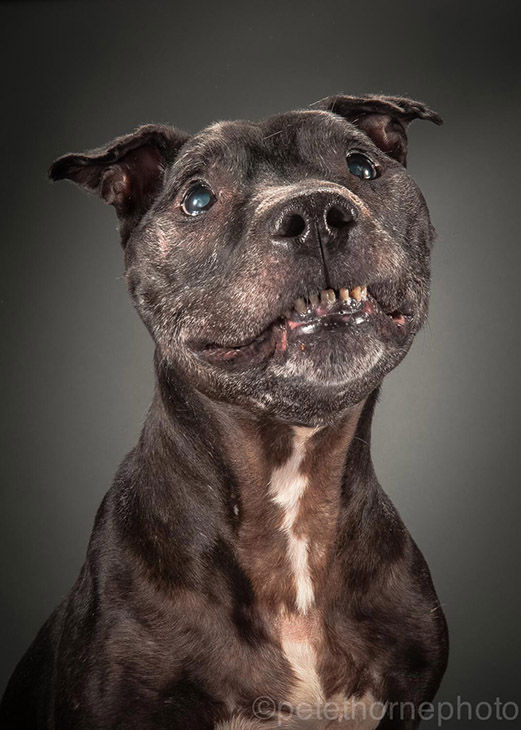 "<div class=""meta image-caption""><div class=""origin-logo origin-image ""><span></span></div><span class=""caption-text"">Elmo, a 14-year-old pit bull, was the first dog photographed for the ""Old Faithful"" project. (Pete Thorne)</span></div>"