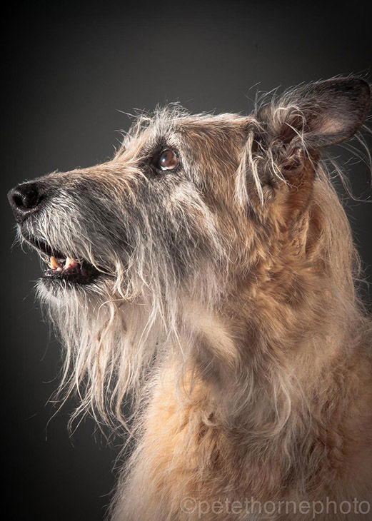 "<div class=""meta image-caption""><div class=""origin-logo origin-image ""><span></span></div><span class=""caption-text"">Emmy, a 14-year-old wolfhound mix.  (Pete Thorne)</span></div>"
