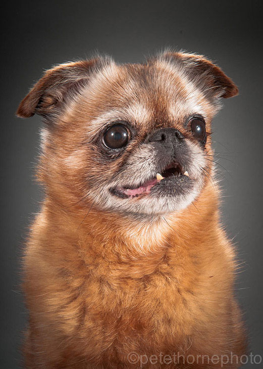 "<div class=""meta image-caption""><div class=""origin-logo origin-image ""><span></span></div><span class=""caption-text"">Finnegan is a 12-year-old Brussels Griffon smooth coat. When he lived in Montreal, he went by his French name: Finni le Poo. (Pete Thorne)</span></div>"