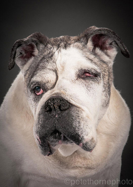 "<div class=""meta image-caption""><div class=""origin-logo origin-image ""><span></span></div><span class=""caption-text"">Mance is a 13-year-old English bulldog. He has bone cancer that adds a lot of character to his face.  (Pete Thorne)</span></div>"