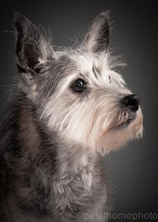 "<div class=""meta image-caption""><div class=""origin-logo origin-image ""><span></span></div><span class=""caption-text"">Toto is a 16-year-old Cairn terrier mix who was rescued when he was 7. (Pete Thorne)</span></div>"