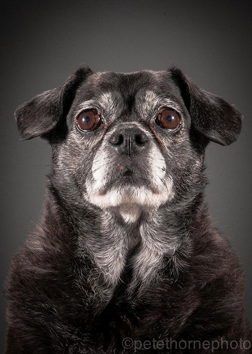 "<div class=""meta image-caption""><div class=""origin-logo origin-image ""><span></span></div><span class=""caption-text"">Weezee, a 10-year-old pug. (Pete Thorne)</span></div>"