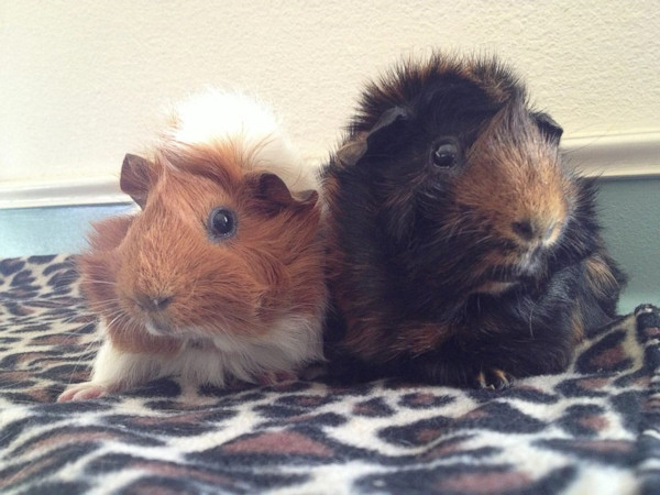 <div class='meta'><div class='origin-logo' data-origin='none'></div><span class='caption-text' data-credit='Harvest Home Animal Sanctuary'>Estella and her ''guinea pig husband,'' Pip, were found abandonned by the side of the road earlier this year.</span></div>
