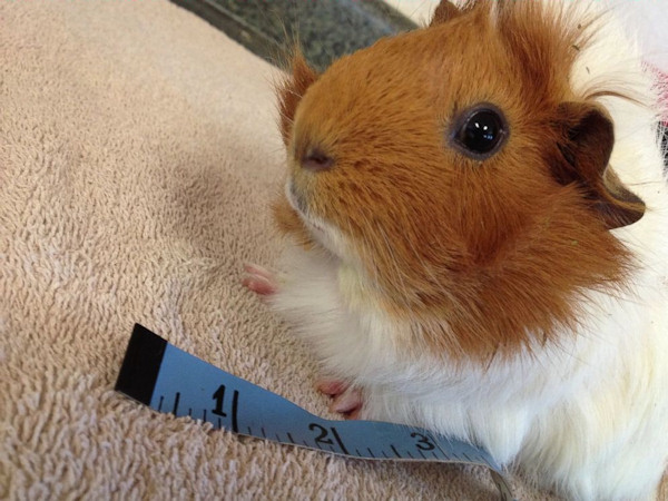 <div class='meta'><div class='origin-logo' data-origin='none'></div><span class='caption-text' data-credit='Harvest Home Animal Sanctuary'>Estella the rescue guinea pig was fitted for a new wheelchair after being found with her bones broken so badly she couldn't use her lower body.</span></div>