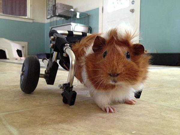 <div class='meta'><div class='origin-logo' data-origin='none'></div><span class='caption-text' data-credit='Harvest Home Animal Sanctuary'>Estella now gets around with the help of her new custom-fit wheelchair and Harvest Home says now she's a ''little titan.''</span></div>