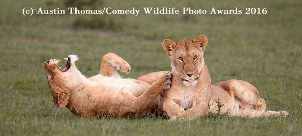 "<div class=""meta image-caption""><div class=""origin-logo origin-image none""><span>none</span></div><span class=""caption-text"">(Austin Thomas/Comedy Wildlife Awards 2016)</span></div>"