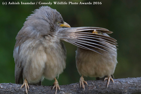 "<div class=""meta image-caption""><div class=""origin-logo origin-image none""><span>none</span></div><span class=""caption-text"">(Ashish Inamdar/Comedy Wildlife Awards 2016)</span></div>"