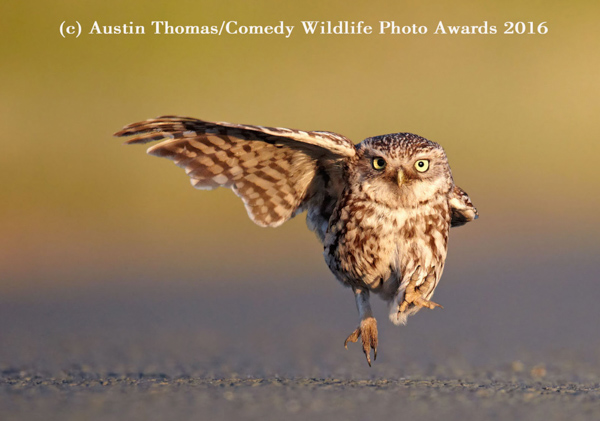 "<div class=""meta image-caption""><div class=""origin-logo origin-image none""><span>none</span></div><span class=""caption-text"">(Austin Thomas/Comedy Wildlife Photo Awards 2016)</span></div>"