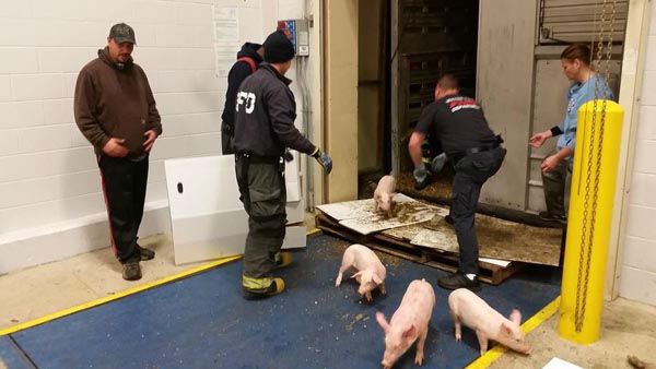 "<div class=""meta image-caption""><div class=""origin-logo origin-image ""><span></span></div><span class=""caption-text"">Hundreds of baby piglets were rescued after a truck carrying them overturned in Indianapolis (Wayne Township Fire Department)</span></div>"