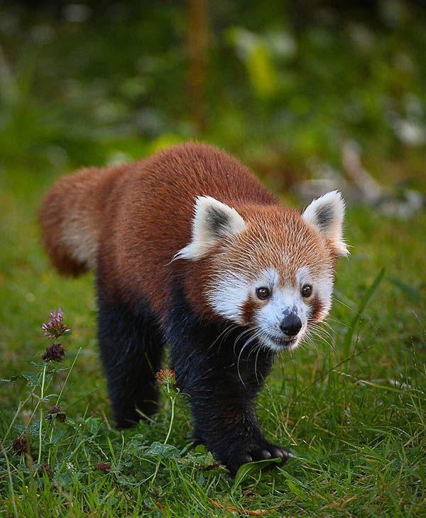 Jung, father of the red pandas. <span class=meta>(Photo&#47;Chester Zoo)</span>