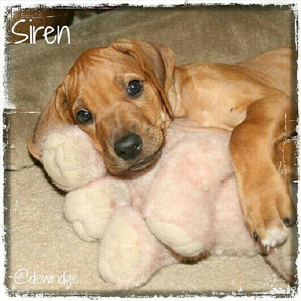 """<div class=""""meta image-caption""""><div class=""""origin-logo origin-image none""""><span>none</span></div><span class=""""caption-text"""">Meet Siren! In honor of National Puppy Day, ABC7 viewers are sending us photos of their adorable dogs. Share your pics on Twitter, Instagram and Facebook with #ABC7Puppy. (KABC / Instagram.com/dewridge)</span></div>"""