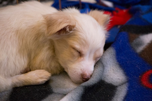 <div class='meta'><div class='origin-logo' data-origin='none'></div><span class='caption-text' data-credit='KABC'>This fur baby is all snuggles and sleep after a long day at the Puppy Palooza adoption event.</span></div>