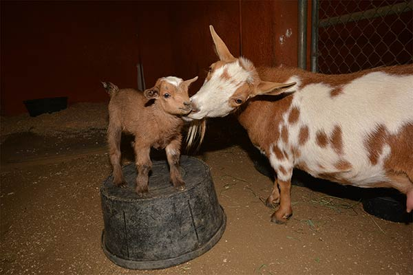 "<div class=""meta image-caption""><div class=""origin-logo origin-image none""><span>none</span></div><span class=""caption-text"">The Los Angeles Zoo announces the addition of four Nigerian Dwarf goats. (Los Angeles Zoo)</span></div>"