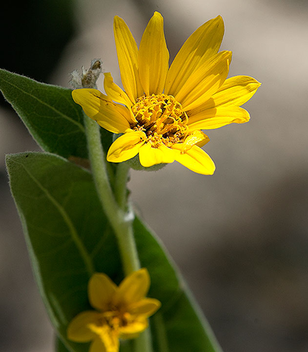 <div class='meta'><div class='origin-logo' data-origin='AP'></div><span class='caption-text' data-credit='AP Photo/Rich Pedroncelli'>A Wyethia mollis, also known as mule's ears, blooms in the Lower Carpenter Valley near Truckee, Calif.</span></div>