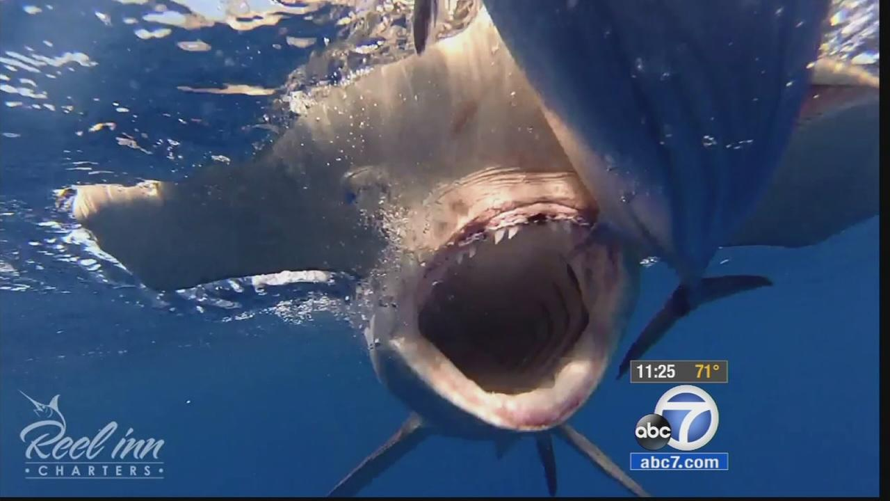 A hungry hammerhead shark surprised fishermen 10 miles off the coast of Dana Point, and the incident was caught on a GoPro camera.