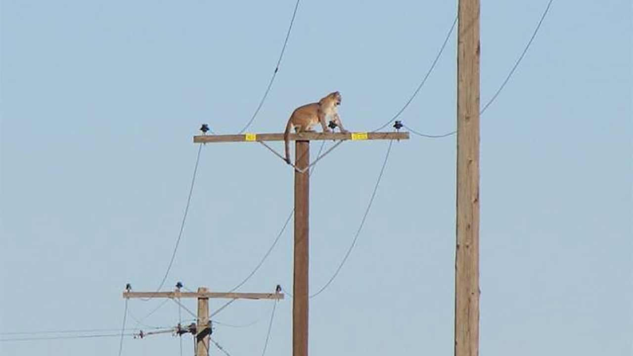 A mountain lion climbed atop a 35-foot-high wooden pole about two miles south of Cougar Buttes in Lucerne Valley on Tuesday, Sept. 29, 2015.