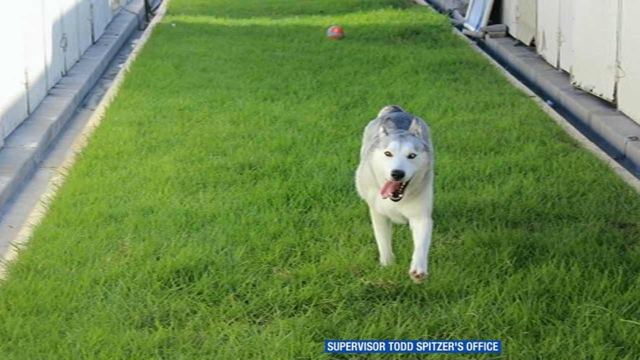 Karma, the wolf-dog hybrid in Orange County, is seen playing fetch in this photo provided by Orange County Board Chairman Todd Spitzer.