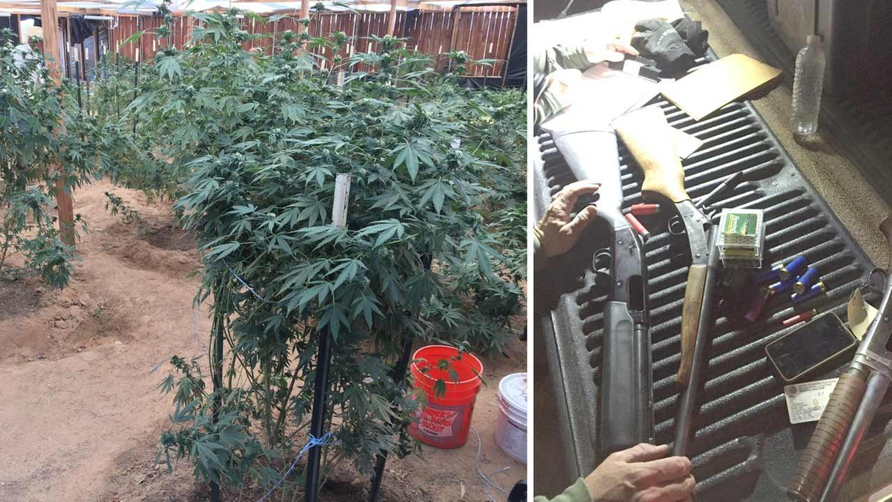 Photos released by the San Bernardino Sheriffs Department show several marijuana plants and firearms found in El Mirage Thursday, Oct. 8, 2015.