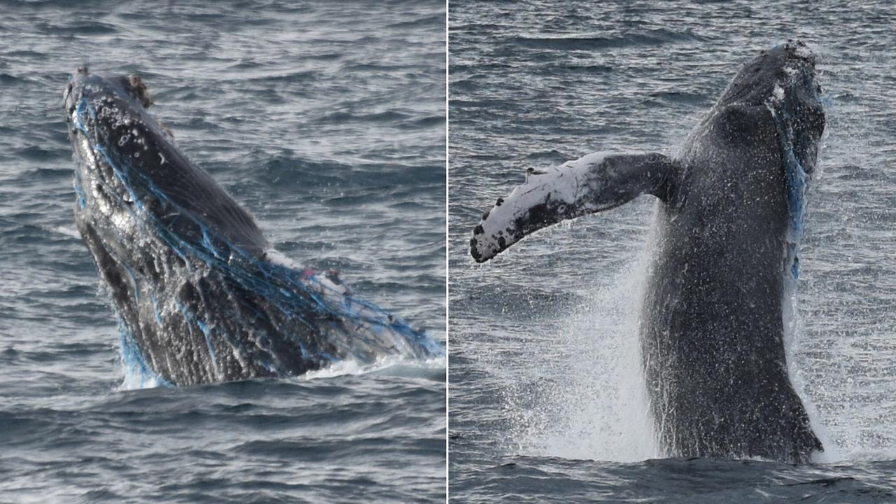 A humpback whale breaches the water with netting covering its face and head off the coast of Rancho Palos Verdes on Saturday, Oct. 17, 2015.