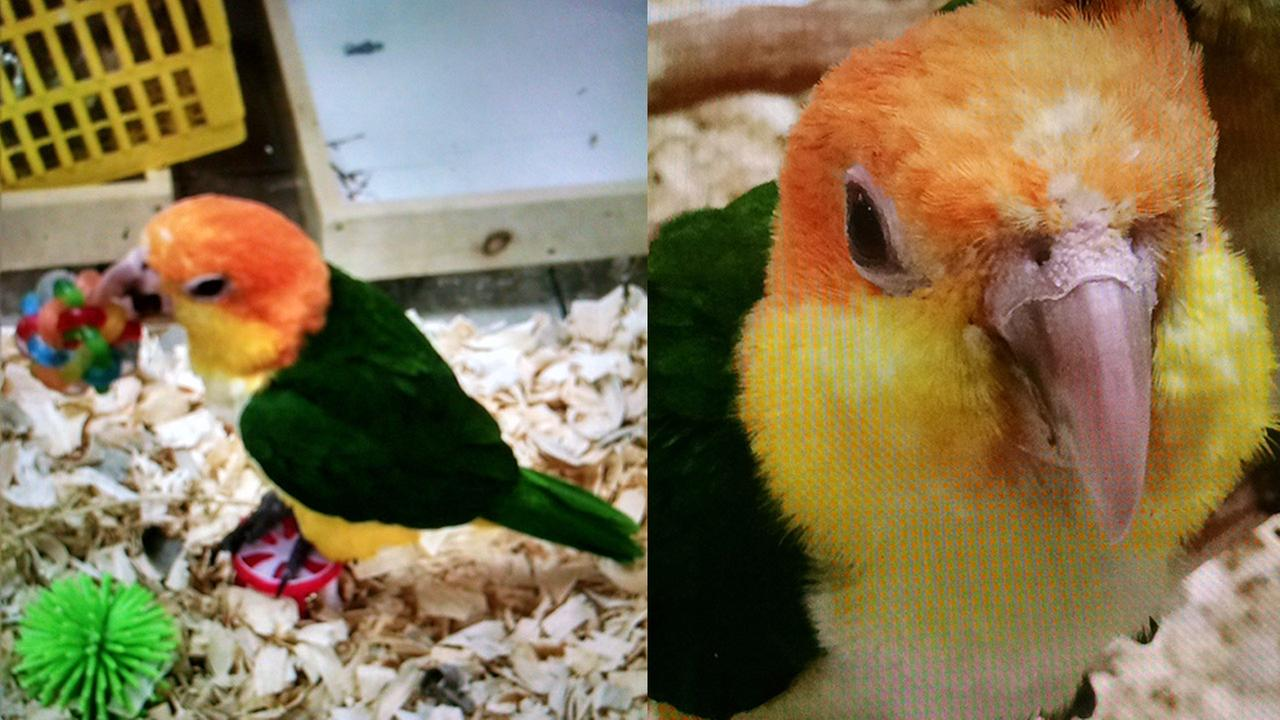 A baby Apricot Headed Caique parrot stolen from Omars Exotic Birds in Lake Forest on Wednesday, Nov. 4, 2015.