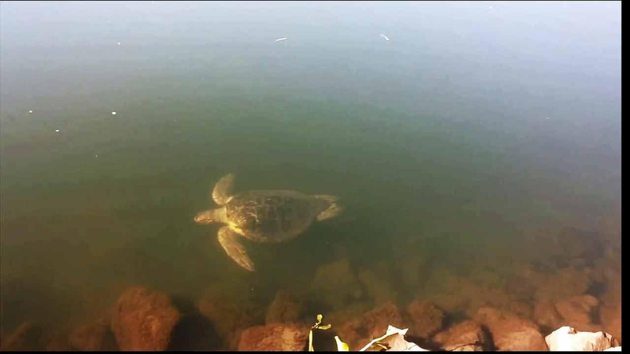 A lost tropical sea turtle was spotted in the San Joaquin River Friday, Nov. 13, 2015.