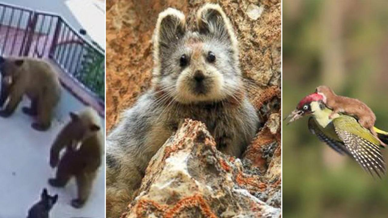 Take a trip through 2015 with our top seven animal stories that include Jules the bulldog (L), an Ili Pika (C), and a weasel riding a woodpecker (R).