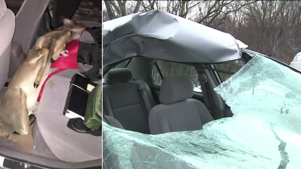 A deer smashed through a Pennsylvania womans car windshield and ended up dead in the backseat.